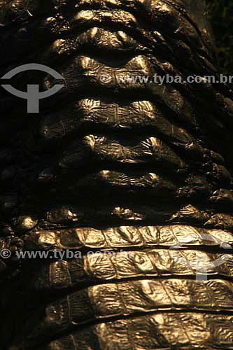 Detalhe de couro de jacaré - Parque Nacional do Pantanal Matogrossense - Mato Grosso - Brasil  - Mato Grosso - Brasil