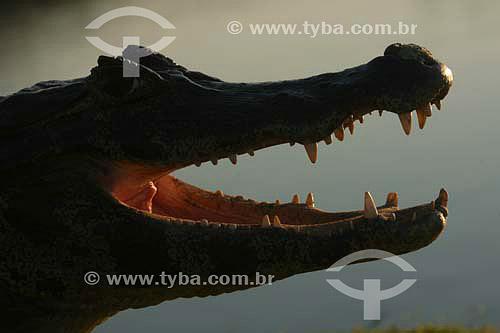 Detalhe da boca de jacaré - Parque Nacional do Pantanal Matogrossense - Mato Grosso - Brasil  - Mato Grosso - Brasil