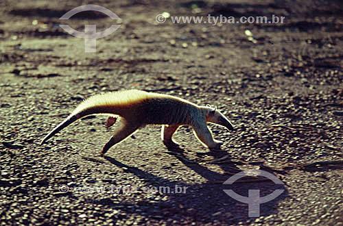 (Myrmecophaga tridactyla) Tamanduá-Bandeira - PARNA do Pantanal Matogrossense  - MT - Brasil  A área é Patrimônio Mundial pela UNESCO desde 2000.  - Mato Grosso - Brasil