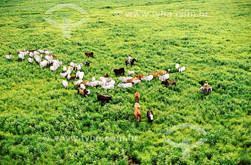 Pecuária - PARNA do Pantanal Matogrossense  - MT - Brasil  A área é Patrimônio Mundial pela UNESCO desde 2000.  - Mato Grosso - Brasil