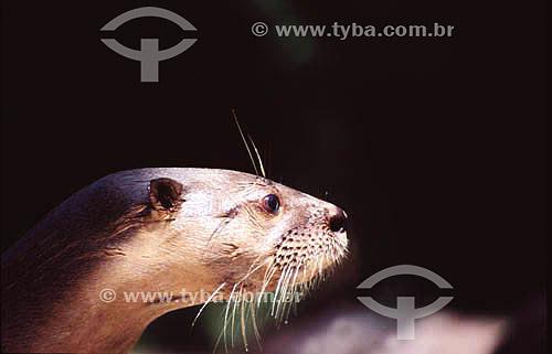 (Lutra longicaudis) - Lontra - PARNA do Pantanal Matogrossense  - MT - Brasil  A área é Patrimônio Mundial pela UNESCO desde 2000.  - Mato Grosso - Brasil
