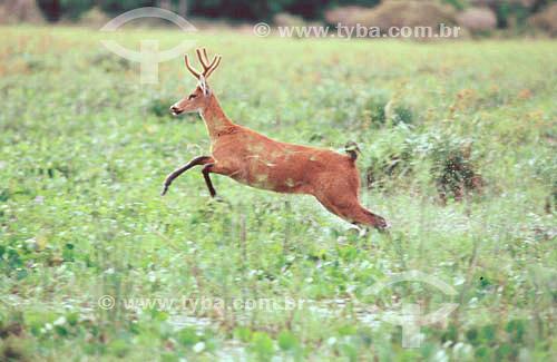 (Blastocerus dichotomus) Cervo-do-Pantanal - PARNA do Pantanal Matogrossense  - MT - Brasil  A área é Patrimônio Mundial pela UNESCO desde 2000.  - Mato Grosso - Brasil