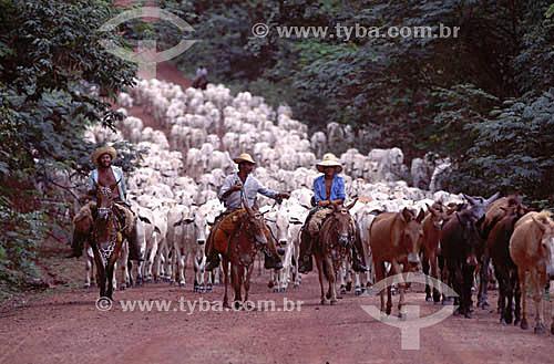Pecuária - Vaqueiros com rebanho de gado em estrada de terra - Pantanal - Matogrosso - Brasil - Janeiro 2004  - Mato Grosso - Brasil