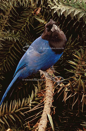 (Cyanocorax caeruleus) Gralha Azul - sul do Brasil