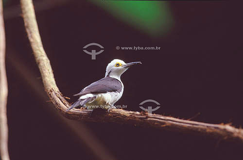(Melanerpes candidus) Pica-Pau-Branco ou Birro - sul do Brasil