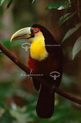 (Ramphastos dicolorus) Tucano-de-Bico-Verde - sul do Brasil(Ramphastos dicolorus) Bird, Red-breasted toucan - South Brazil