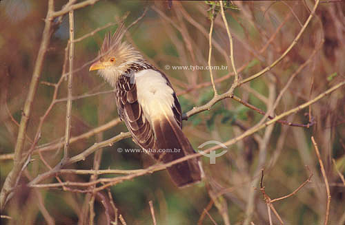 (Guira guira) Anú-Branco - sul do Brasil