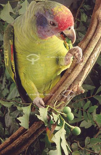 (Amazona brasiliensis) Papagaio-de-Cara-Roxa ou Chauá - sul do Brasil  - 1994  O trecho da Mata Atlântica que inicia-se na Serra da Juréia, em Iguape/SP e vai até à Ilha do Mel, em Paranaguá/PR é Patrimônio Mundial Natural da UNESCO desde 1999.  - Paraná - Brasil