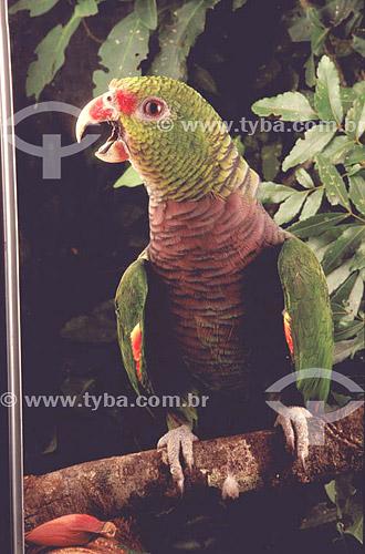 (Amazona vinacea) Papagaio-de-Peito-Roxo - sul do Brasil