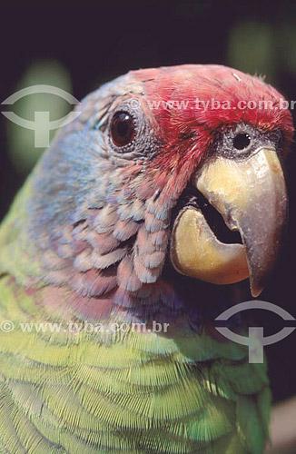 (Amazona brasiliensis) Detalhe da cabeça de um Papagaio-de-Cara-Roxa ou Chauá - sul do Brasil   O trecho da Mata Atlântica que inicia-se na Serra da Juréia, em Iguape/SP e vai até à Ilha do Mel, em Paranaguá/PR é Patrimônio Mundial Natural da UNESCO desde 1999.  - Paraná - Brasil