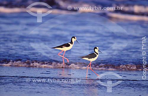 (Himantopus himantopus) - Maçaricos ou Pernilongo - Sul do Brasil  - Rio Grande do Sul - Brasil