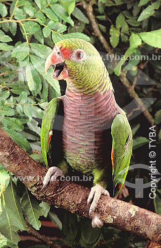 (Amazona brasiliensis) Papagaio-de-Cara-Roxa ou Chauá - sul do Brasil   O trecho da Mata Atlântica que inicia-se na Serra da Juréia, em Iguape/SP e vai até à Ilha do Mel, em Paranaguá/PR é Patrimônio Mundial Natural desde 1999.  - Paraná - Brasil