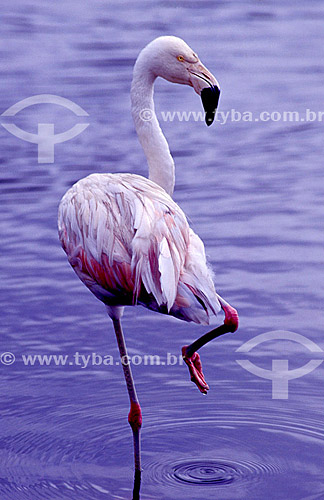 (Phoenicopterus chilensis) Flamingo-chileno - sul do Brasil