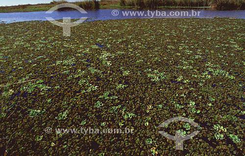 Banhado do Taim - vegetação aquática - RS - Brasil  - Rio Grande do Sul - Brasil