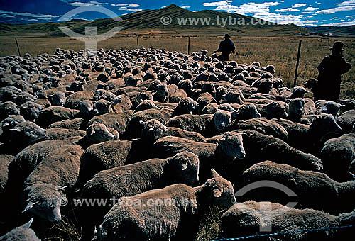 Criação de ovelhas - Peru