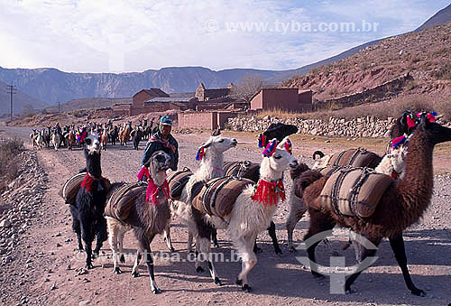 Grupo de Llmas carregando milho na estrada de Potosi - Departamento de Potosí - Bolivia
