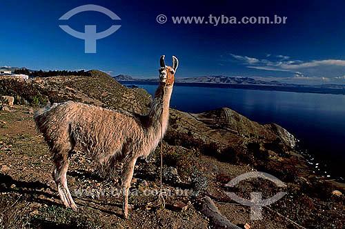 Llama na Ilha do Sol - Lago Titicaca - Bolivia