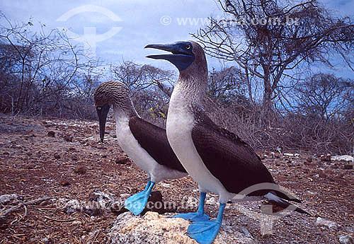 Aves Atobá ou Patola-de-pés-azuis  (Sula nebouxii) no arquipélago de Galápagos - Equador