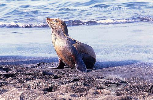 Lobo Marinho em Galápagos - Equador