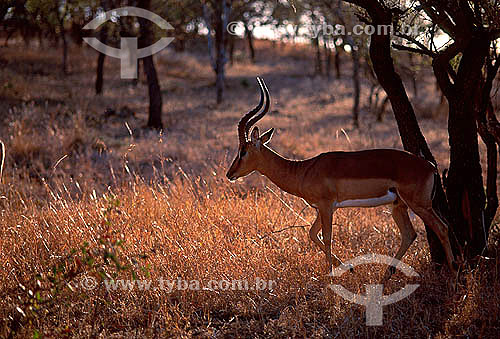 Impala macho (Aepyceros melampus) - Reserva de Fauna Masai Mara - Quênia - África Oriental
