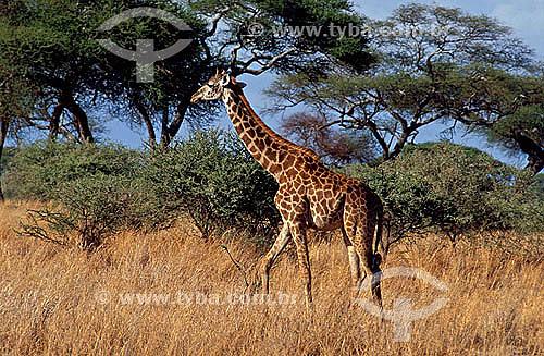 Girafa (Giraffa camelopardalis) - Reserva de Fauna Masai Mara - Quênia - África