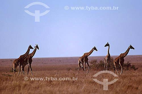 Girafas (Giraffa camelopardalis) - Reserva de Fauna Masai Mara - Quênia - África Oriental