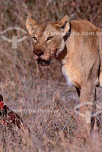 Leoa - Leão Africano fêmea (Panthera leo) com sangue da presa na boca - Reserva de Fauna Masai Mara - Quênia - África Oriental