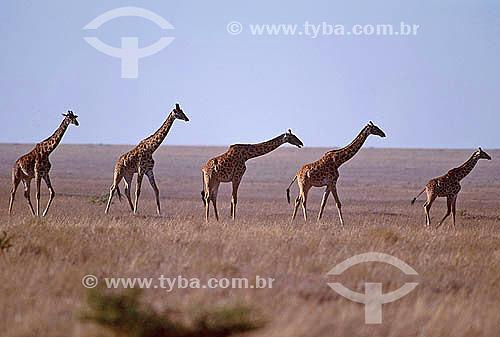 Girafa (Giraffa camelopardalis) - Quênia - África Oriental