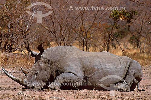 Rinoceronte Branco (Ceratotherium simum) - Reserva de Fauna Umfolozi - Departamento de Natal - África do Sul