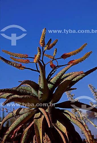 Tipo de Babosa (Aloe sp.) - África do Sul