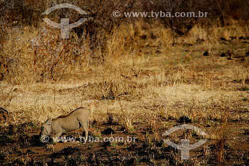 Javali (Sus scrofa) no Parque Nacional Pilanesburgo - África do Sul - Agosto de 2006