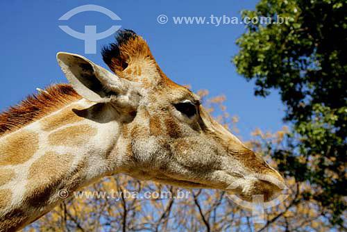Girafa (Giraffa camelopardalis) - Parque dos Leões - África do Sul - Agosto de 2006