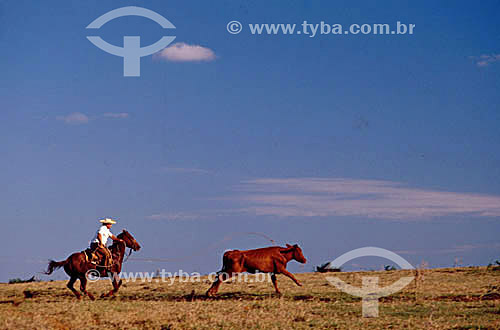 Agropecuária / Pecuária: homem em cavalo laçando gado - Brasil