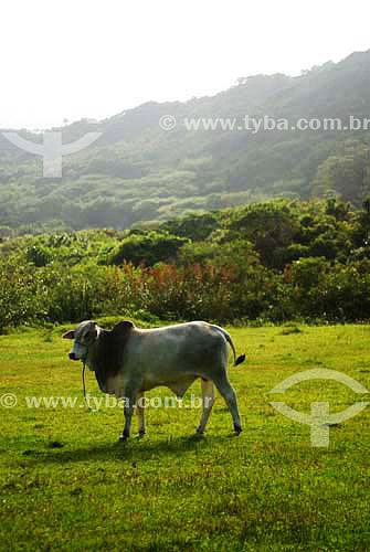 Boi zebu em pasto com vegetação ao fundo - município de Palhoça - SC - Brasil  - Palhoça - Santa Catarina - Brasil