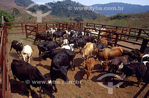 Agropecuária / pecuária: Fazenda de gado leiteiro, Secretário, Rio de Janeiro, Brasil /  Data: 2003