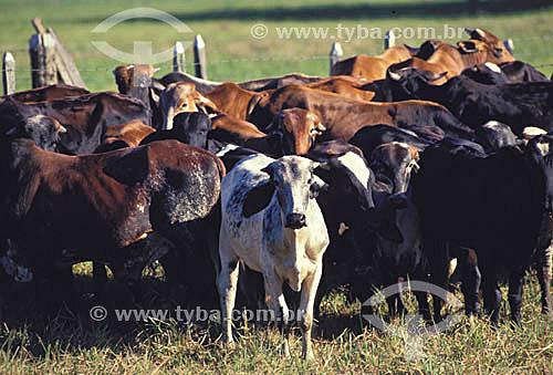 Agropecuária/ pecuária : gado de corte, Papucaia, Rio de Janeiro, Brasil / Data: 2009