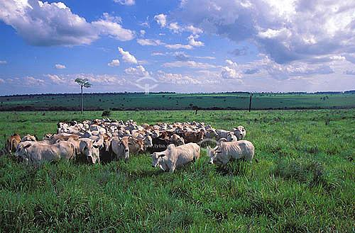 Agropecuária/ pecuária: fazenda de gado Nelore que faz cruzamento industriall, Naviraí, Mato Grosso do Sul , Brasil. Data : março de 2002  - Naviraí - Mato Grosso do Sul - Brasil