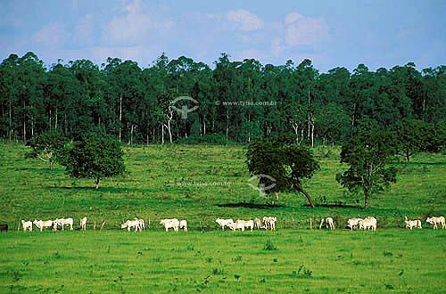 Agropecuária/ pecuária: fazenda de gado Nelore que faz cruzamento industrial, Anaurilândia, Mato Grosso do Sul, Brasil. Data: março de 2002