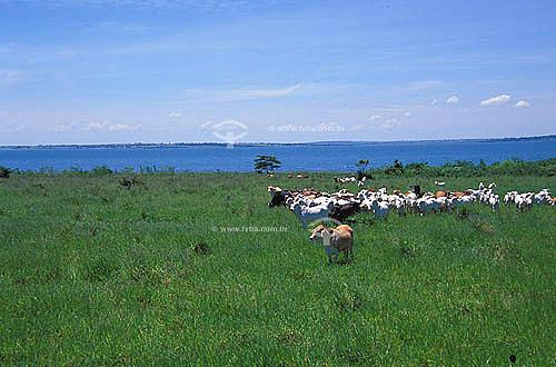 Agropecuária/ pecuária: fazenda de gado Nelore que faz cruzamento industrial, Pereira Barreto, São Paulo, Brasil. Data: março de 2002