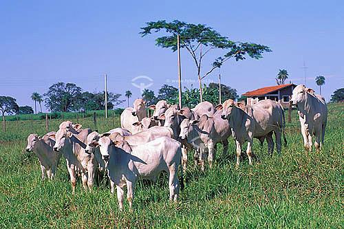 Agropecuária/ pecuária: fazenda de gado Nelore que faz cruzamento industrial, Barretos, São Paulo, Brasil. Data: novembro de 1999