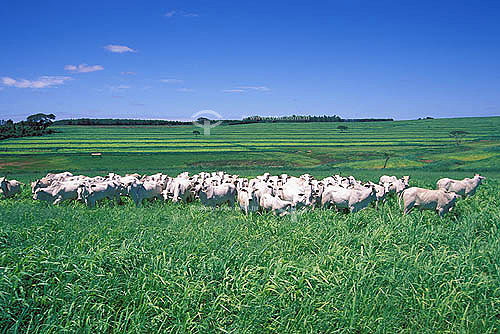 Agropecuária/ pecuária: fazenda de gado Nelore, Getulina, São Paulo, Brasil. Data: janeiro de 2002