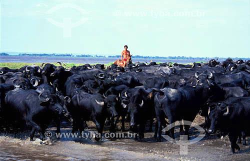 Agropecuária / Pecuária : homem manejando búfalos de água (bubalus bubalis) na várzea do Rio Amazonas perto da cidade de Santarém, Pará, Brasil. Data: 2003