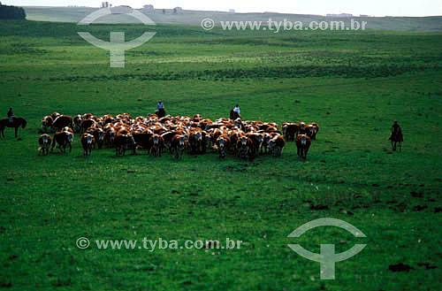 Agro-pecuária / pecuária : boiadas em paisagem campestre sendo conduzidas por gaúchos com seus trajes típicos, Alegrete, Rio Grande do Sul, Brasil - Data: 1996.