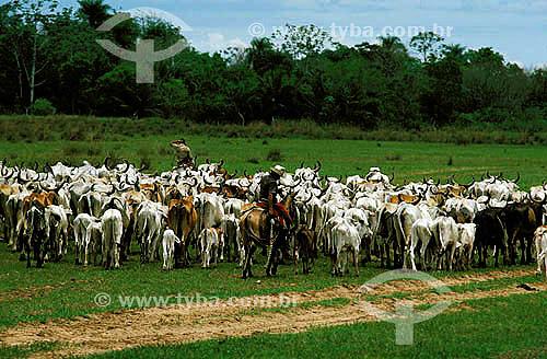 Assunto: Agropecuária / pecuária: gado sendo conduzido por vaqueiros em fazenda de gado, Pantanal, Mato Grosso, Brasil / Data: 1996 A região do Pantanal foi declarada patrimônio histórico mundial pela UNESCO
