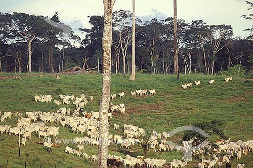 Agropecuária / pecuária : gado pastando, região amazônica, estado do Acre, Brasil. Data: 1999