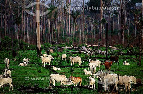 Assunto: Criação de gado / Local: Próximo a BR 364 - ACRE (AC) - Brasil  / Data: 1999