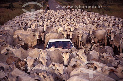 Casal dentro de automóvel cercado por gado que ocupa a estrada, Brasil
