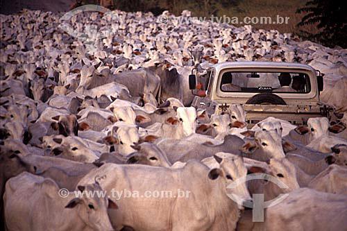 Homens dentro de automóvel cercado por gado que ocupa a estrada