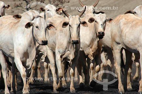 Assunto: Rebanho de gado Nelore / Local: Mato Grosso do Sul (MS) - Brasil / Data: 2005