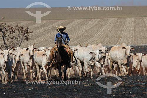 Assunto: Vaqueiro guiando Gado Nelore com plantação ao fundo - Pasto queimado   / Local: Mato Grosso do Sul (MS) - Brasil / Data: 2005